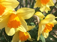 daffodils in garden.JPG